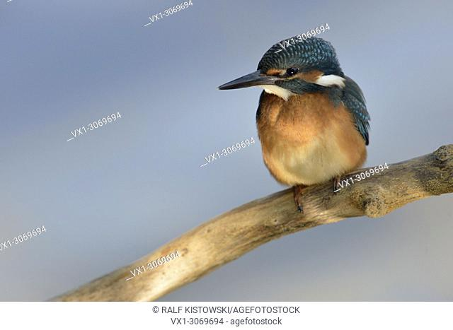 Common Kingfisher ( Alcedo atthis ), young bird, just fledged, sitting in a spotlight, hunting, frontal view, clean background, wildlife, Europe