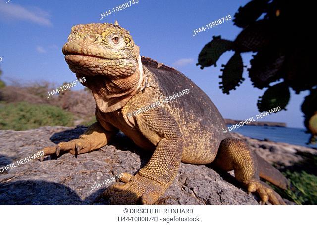 action, Conolophus subcristatus, diving, Ecuador, South Amerika, endangered species, endemic, Galapagos, Galápagos