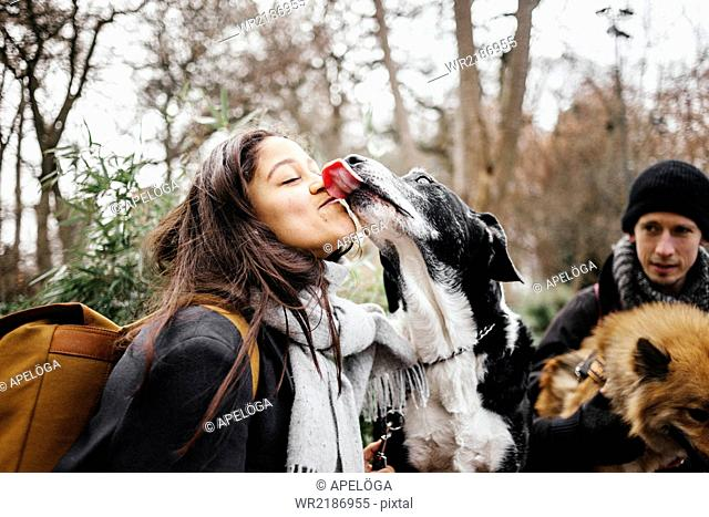 Mixed-breed dog licking woman with man and Eurasier in background at park