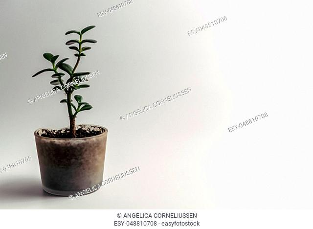 Green Jade Plant, Crassula ovata houseplant, Feng Shui Money Tree succulent potted in a modern glass flowerpot with organic soil isolated on clean white...