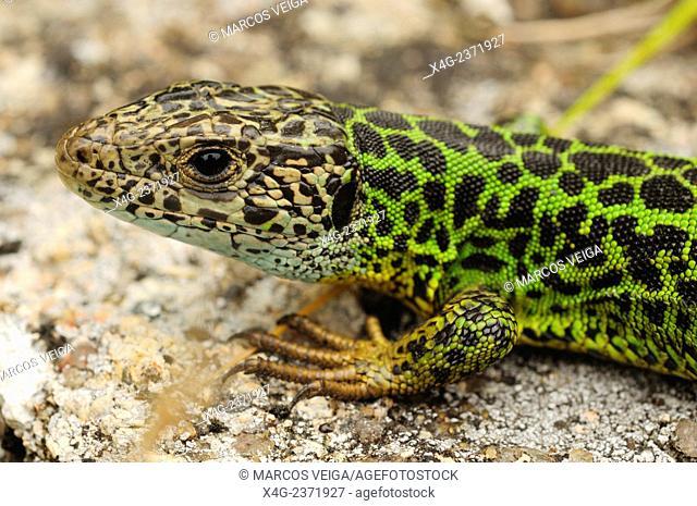 Female Iberian emerald lizard or Schreiber's green lizard (Lacerta schreiberi)