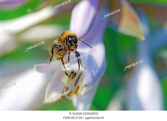 Insect, A pollen covered bee on the tip of a flower of a Hosta