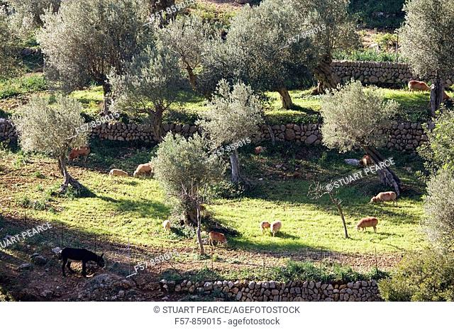 Olive trees, Mallorca, Balearic Islands, Spain