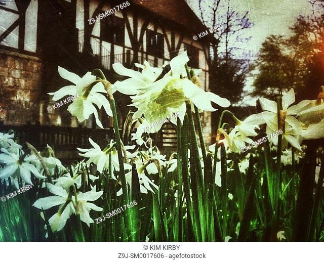 Narcissi in the garden England UK United Kingdom GB Great Britain