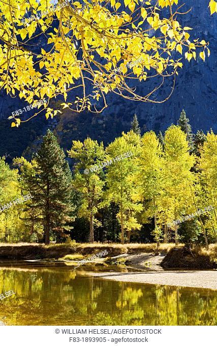 Yosemite Valley, Yosemite National Park, California, USA, black cottonwood Populus trichocarpa overhangs Merced River, granite cliffs behind, November