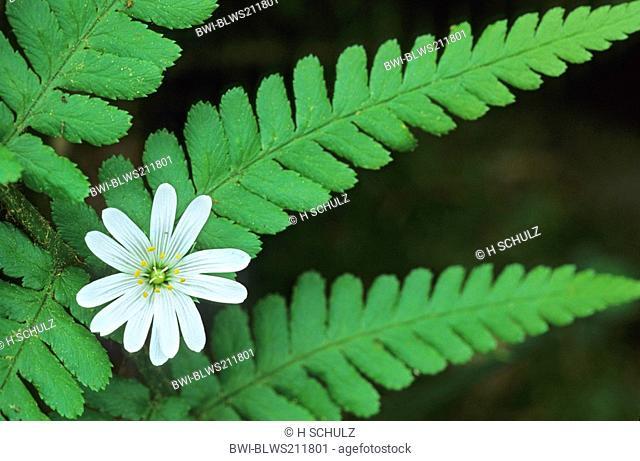 easterbell starwort, greater stitchwort Stellaria holostea, flower between male-fern, Germany, Schleswig-Holstein