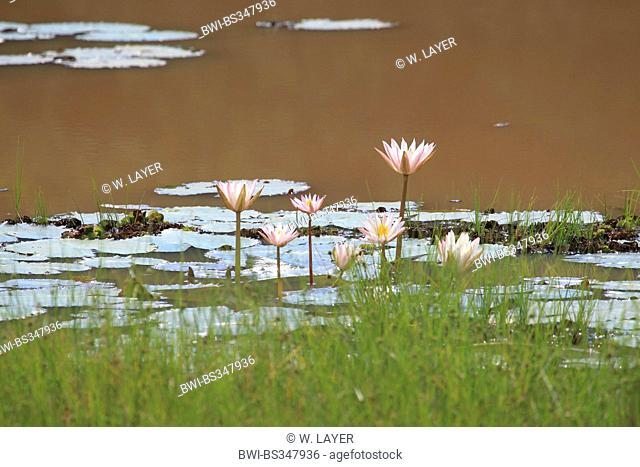 water lily, pond lily (Nymphaea spec.), pond with water lilies, Sri Lanka, Yala National Park