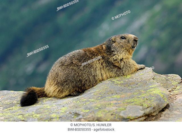 alpine marmot (Marmota marmota), lying, Switzerland