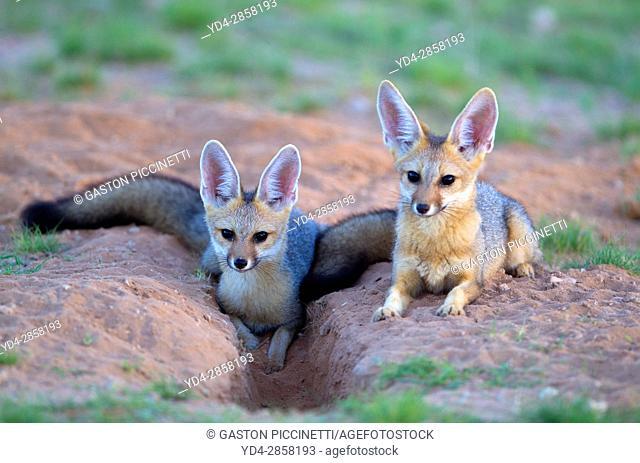 Cape Fox (Vulpes chama) - Cubs, Kgalagadi Transfrontier Park, Kalahari desert, South Africa