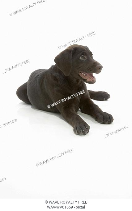 Chocolate Labrador puppy, laying with paws stretched out, mouth open
