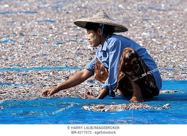 Local woman wearing straw hat and Thanaka paste on her face, sorting through fish out to dry on blue nets on the beach of the fishing village Ngapali, Thandwe