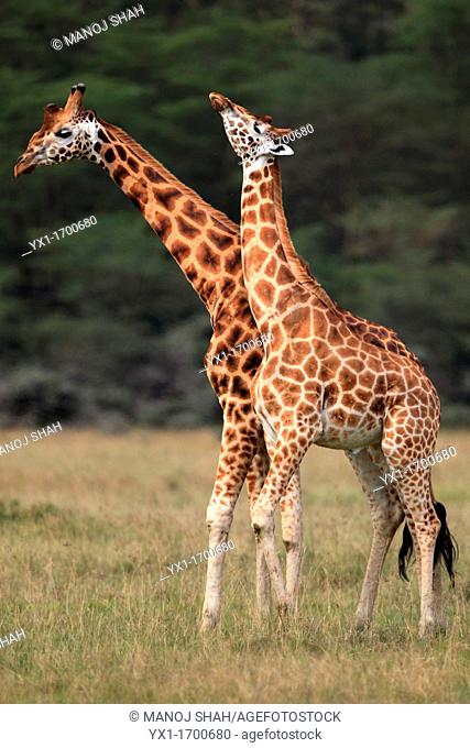 Male Rothschild giraffes fighting by swinging head to the opponents body, also known as 'necking'