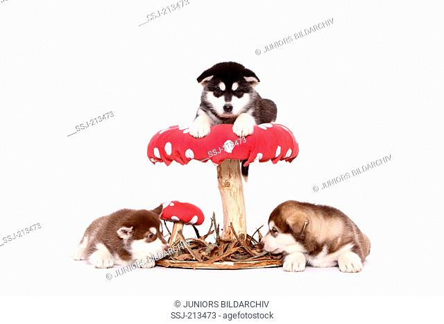 Alaskan Malamute. Puppy (6 weeks old) lying on a big Fly Agaric, two others lying next to it. Studio picture against a white background. Germany