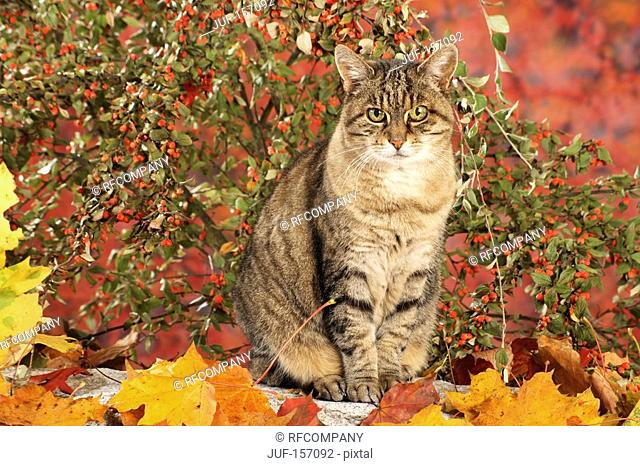tabby kitten - sitting in autumn foliage