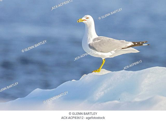 Ring-billed Gull (Larus delawarensis) on the Hudson's Bay near Churchill, Manitoba, Canada