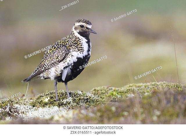 European Golden Plover (Pluvialis apricaria), adult standing on the ground