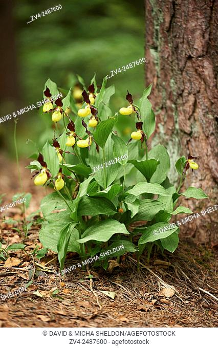 Lady's-slipper orchid (Cypripedium calceolus) blossom in a forest in early summer