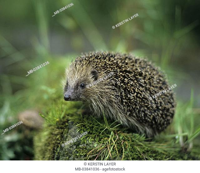 Hedgehogs, forest