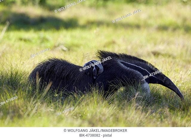 Giant anteater (Myrmecophaga tridactyla) with cub on its back in the prairie at Barranco Alto, Mato Grosso, Pantanal, Brazil