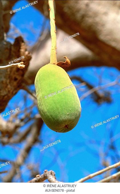 Senegal - Fruit du Baobab