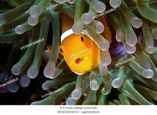 False Clownfish with Parasite in Throat, Amphiprion ocellaris, Raja Ampat, West Papua, Indonesia