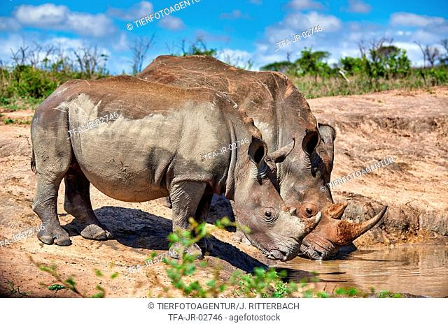 southern square-lipped rhinoceroses