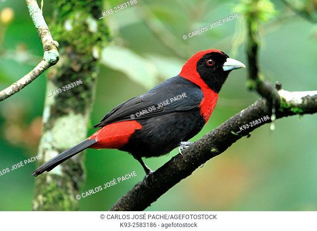 Sangre de Toro (Ramphocelus sanguinolentus). Parque Nacional Volcan Arenal, Costa Rica
