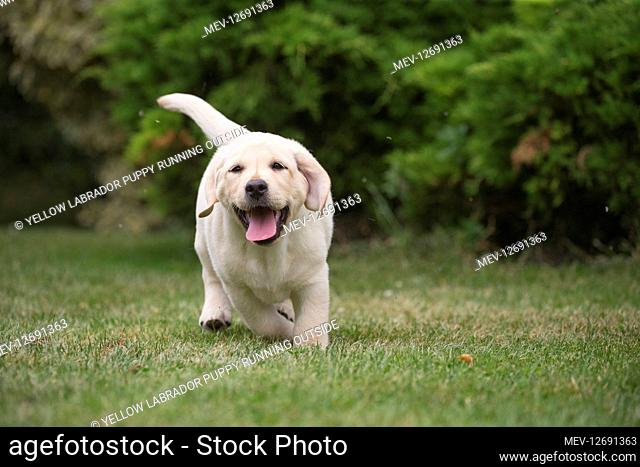 Yellow Labrador puppy running outside