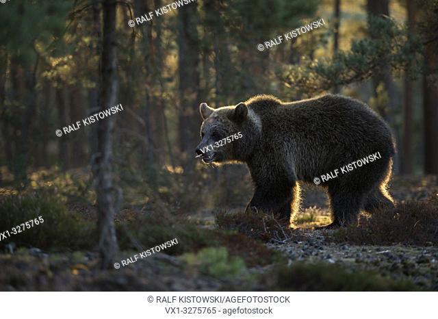 European Brown Bear ( Ursus arctos ) in natural surrounding, first morning light, atmospheric backlight.