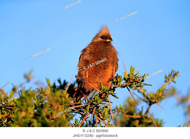 Speckled Mousebird, (Colius striatus), adult on branch, Addo Elephant Nationalpark, Eastern Cape, South Africa, Africa