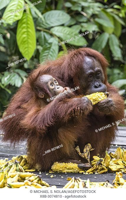 Mother and baby Bornean orangutan, Pongo pygmaeus, at feeding platform Pondok Tanggui, Indonesia