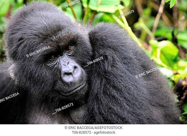 Female mountain gorilla (Gorilla beringei beringei) Volcanoes National Park, Rwanda, Africa