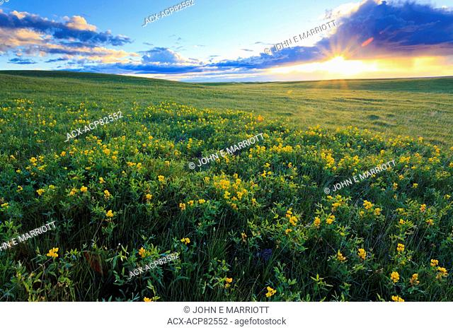 Shortgrass prairie and wildflowers at sunrise just outside of Grasslands National Park, Saskatchewan, Canada