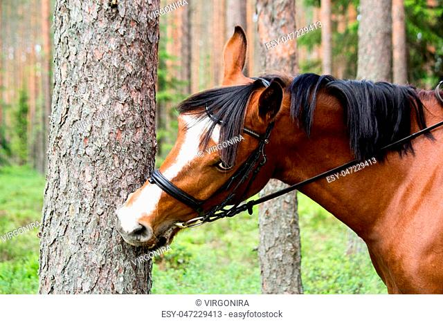 Funny horse chewing on the tree log in forest