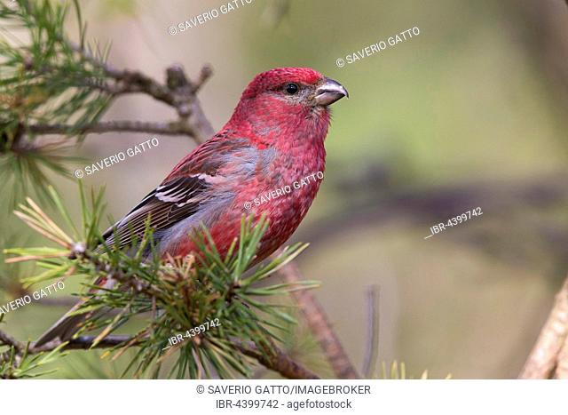 Pine Grosbeak (Pinicola enucleator), adult male perched on a branch, Kaamanen, Lappland, Finland