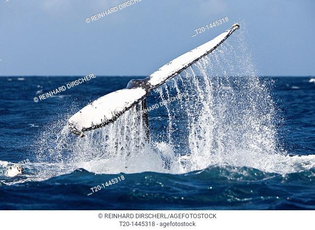 Fluke of Humpback Whale, Megaptera novaeangliae, Silver Bank, Atlantic Ocean, Dominican Republic