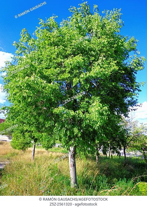 Nettle tree (Celtis australis)