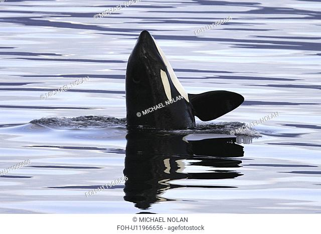 Orca Orcinus orca Young spy-hopping in Chatham Strait, southeast Alaska, USA
