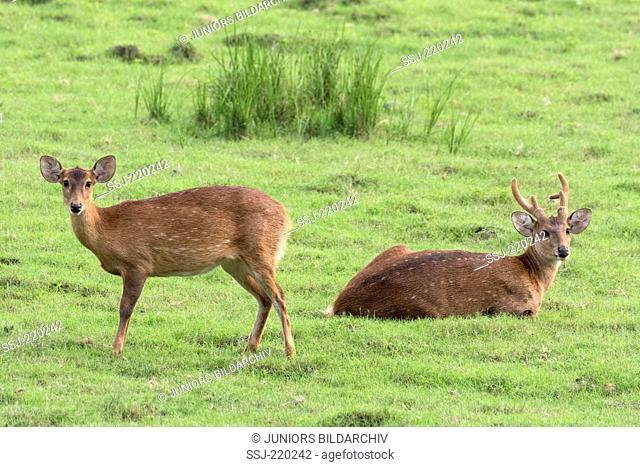 Hog Deer (Axis porcinus, Cervus porcinus), stag and hind on a meadow, Kaziranga-Nationalpark, Assam