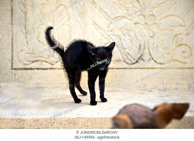 black kitten humping back and hissing restrictions: Tierratgebebücher, Kalender / animal guidebooks, calendars