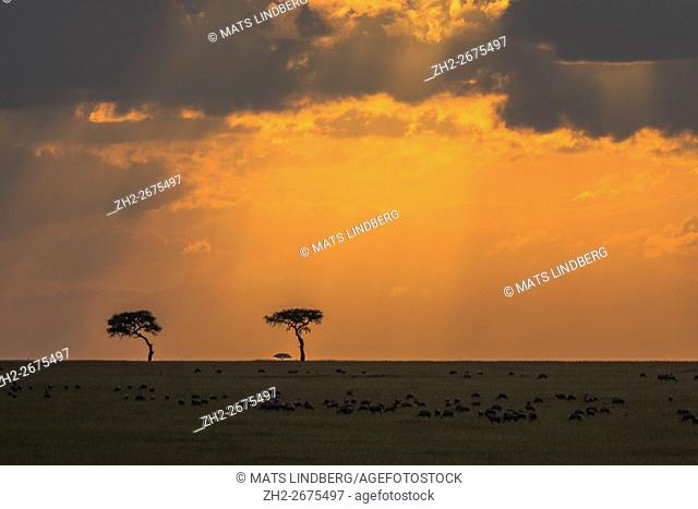 Sunset over Masai mara, with a herd of Topi gazelles and two acacia trees in the horizon, Masai mara, Kenya, Africa