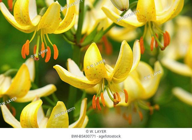 Japanese turk's-cap lily (Lilium hansonii), flowers
