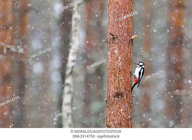 Europe, Finland, Kuhmo area, Kajaani, Great Spotted Woodpecker (Dendrocopos major), adult male