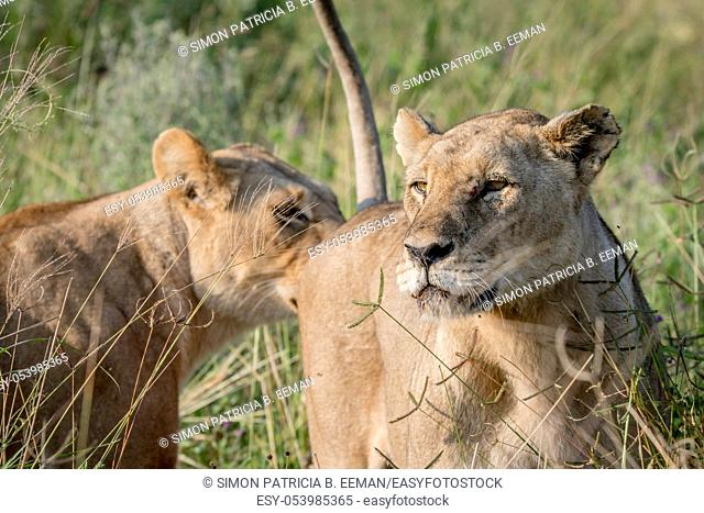 Two Lions bonding in the grass in the Chobe National Park, Botswana