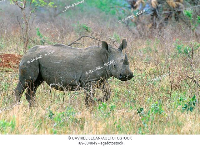 Phinda preserve, White Rhinoceros Ceratotherium simum calf