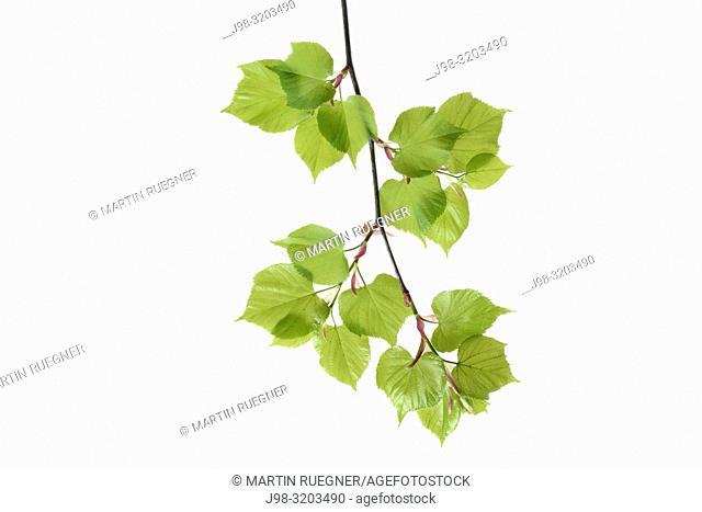 Lime tree (Tilia spec. ) leaves against white background. Bavaria, Germany, Studio Shot