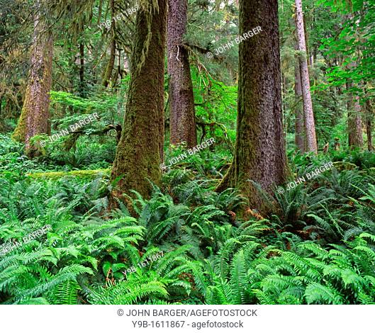 Trunks of Sitka spruce with sword fern in understory, Hoh Rain Forest, Olympic National Park, Washington, USA