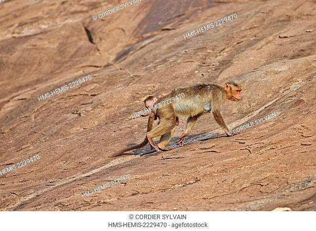 Asia, India, Karnataka, Sandur Mountain Range, Bonnet macaque (Macaca radiata), mother with baby