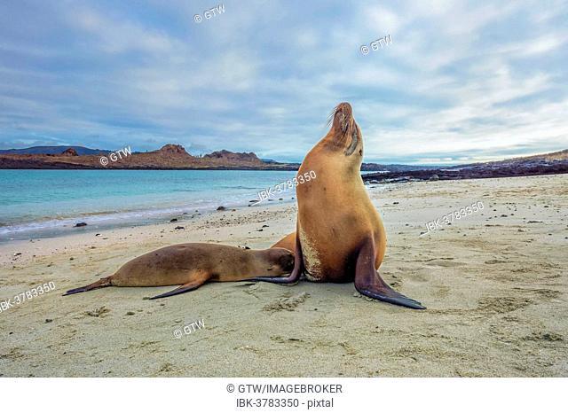 Galápagos Sea Lions (Zalophus wollebaeki), pup suckling, Galápagos