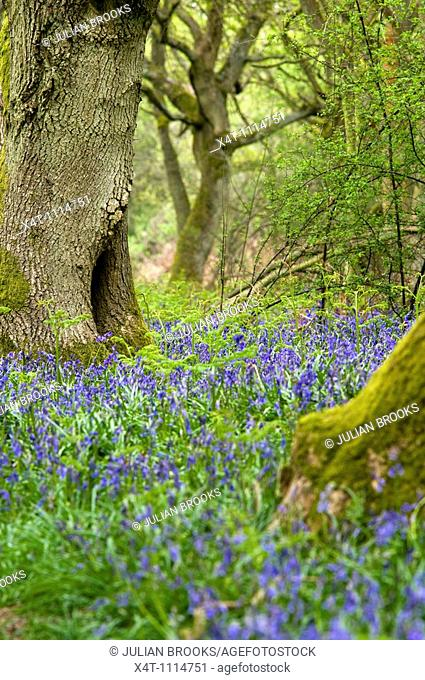 detail of bluebells and moss covered trees in Oxfordshire, UK  Springtime, May  Ferns beginning to grow also